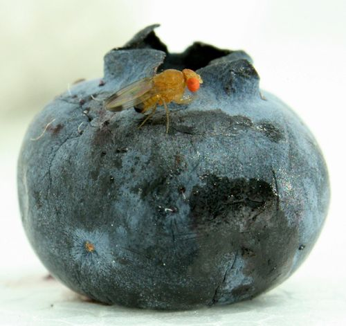 drosophila-suzuki-dettaglio-larva