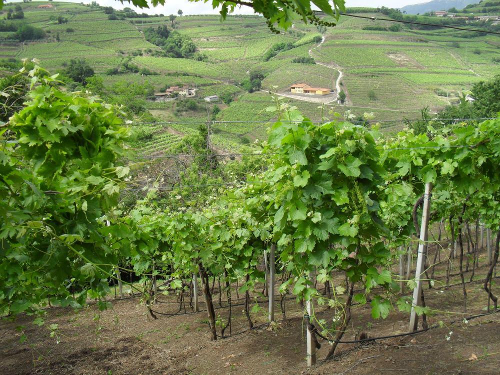 Il vigneto su suolo vulcanico de Le Battistelle, produttori di Soave