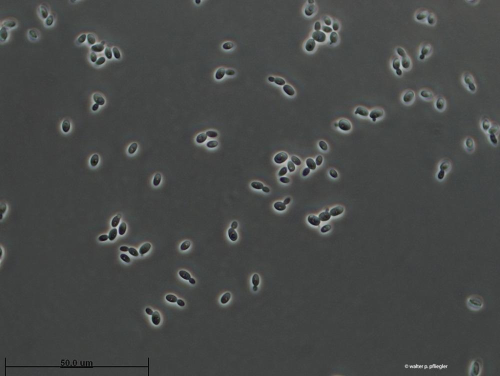 1_Starmerella Bacillaris